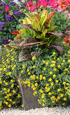 A Shopper S Guide To Crotons Costa Farms