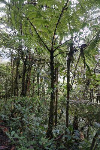 300 year old fern