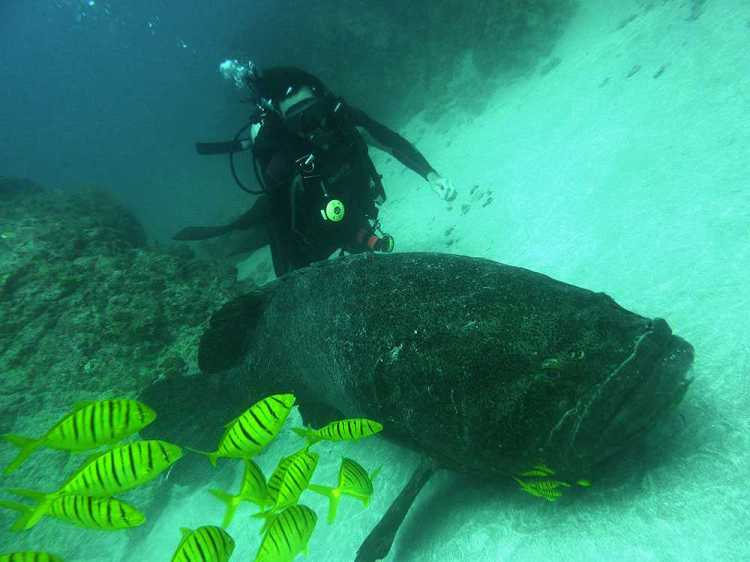 Isla de Cano Goliath Grouper and scuba diver