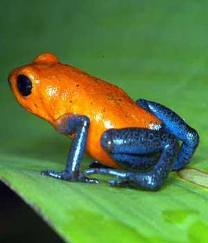 Orange-blue-Poison-Dart-Frog