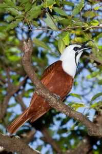 Three Wattled