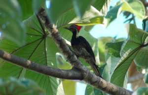 lineated-woodpecker