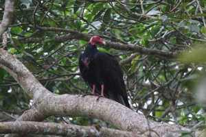 Turkey Vulture in Costa Rica
