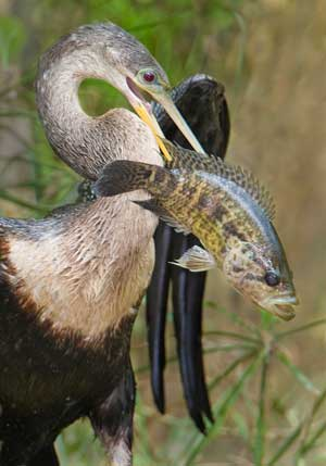 Anhinga-and-fish