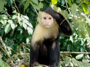 CapuchinMonkey