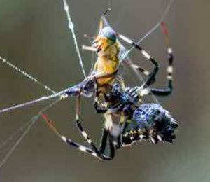 Golden-Orb-Spider