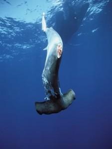 hammerhead shark finning costa rica 1