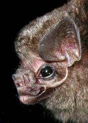 hairy-legged vampire bats