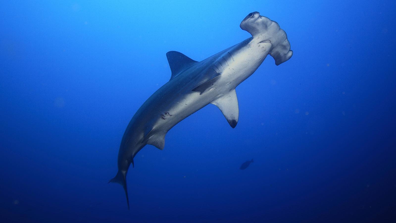 Costa Rica Prepares To Export 10 Tons Of Hammerhead Shark