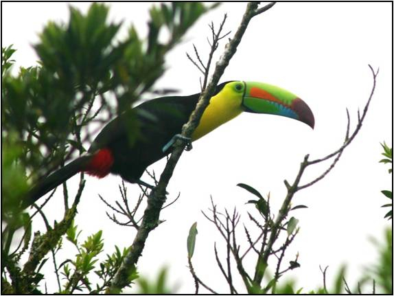 Toucan in our tree!