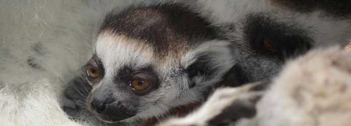 Oasis Park, Experiencia Lemur