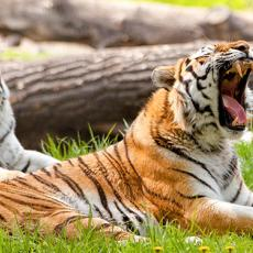 TigerTrainingBanner