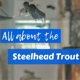 All About Steelhead Trout