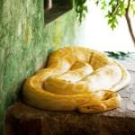 Python molure, F. Fillon©