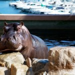 Hippopotame, F. Fillon©