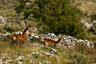 Cerf-5644-Courmes