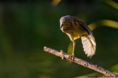 Heron-Bihoreau-0389-Vaugrenier