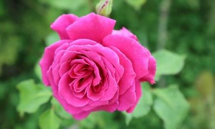 La Fête des Roses et des Plantes les 5 et 6 mai