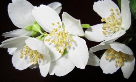 La Fête du jasmin du 3 au 5 août