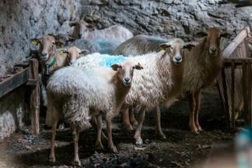 Une brebis basque remporte le 1er prix au Salon de l'Agriculture