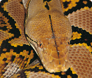 Reticulated python : Cotswold Wildlife Park and Gardens