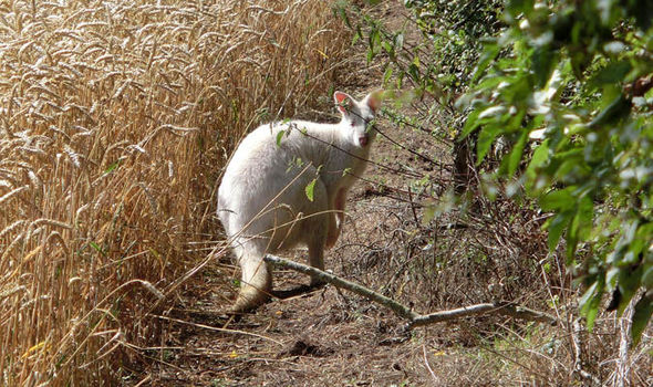 Hanslope Wallaby