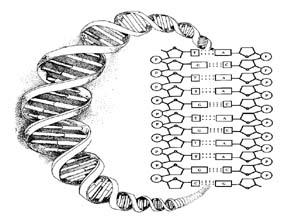 Media: DNA Backbone