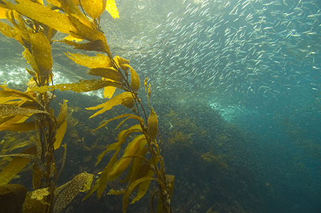 Harvesting kelp, shown here off the California coast, removes CO2 from the ecosystem. PHOTO BY Robert Schwemmer/NOAA