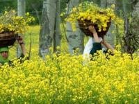 Prominent Lawyer Prashant Bhushan Urges Indian Government to Stop Commercialisation of GM Mustard