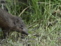A Pygmy Hog in its natural habitat released by members of Pygmy Hog Conservation Programme and Durrel Wildlife Conservation Trust at Bornadi Wildlife Sanctuary.