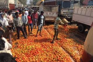 Tomato At 50 paise/Kg! A Windfall or Disaster?