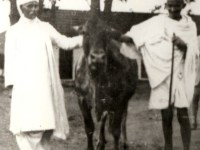 Gandhiji Said, No Law Can Be Made To Ban Cow-Slaughter
