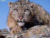 The Beauty Of The Snow Leopard Can Be Lost Forever