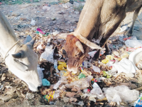 The RSS Must Come Forward To Serve Abandoned Mother Cows