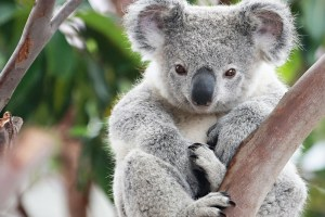 What Humans, Bees And Koala Bears Have In Common Is Due To Climate Change