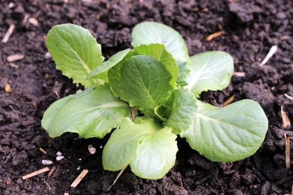 Lettuce in the kitchen garden