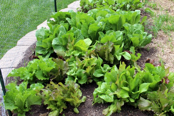 Lettuce in my kitchen garden