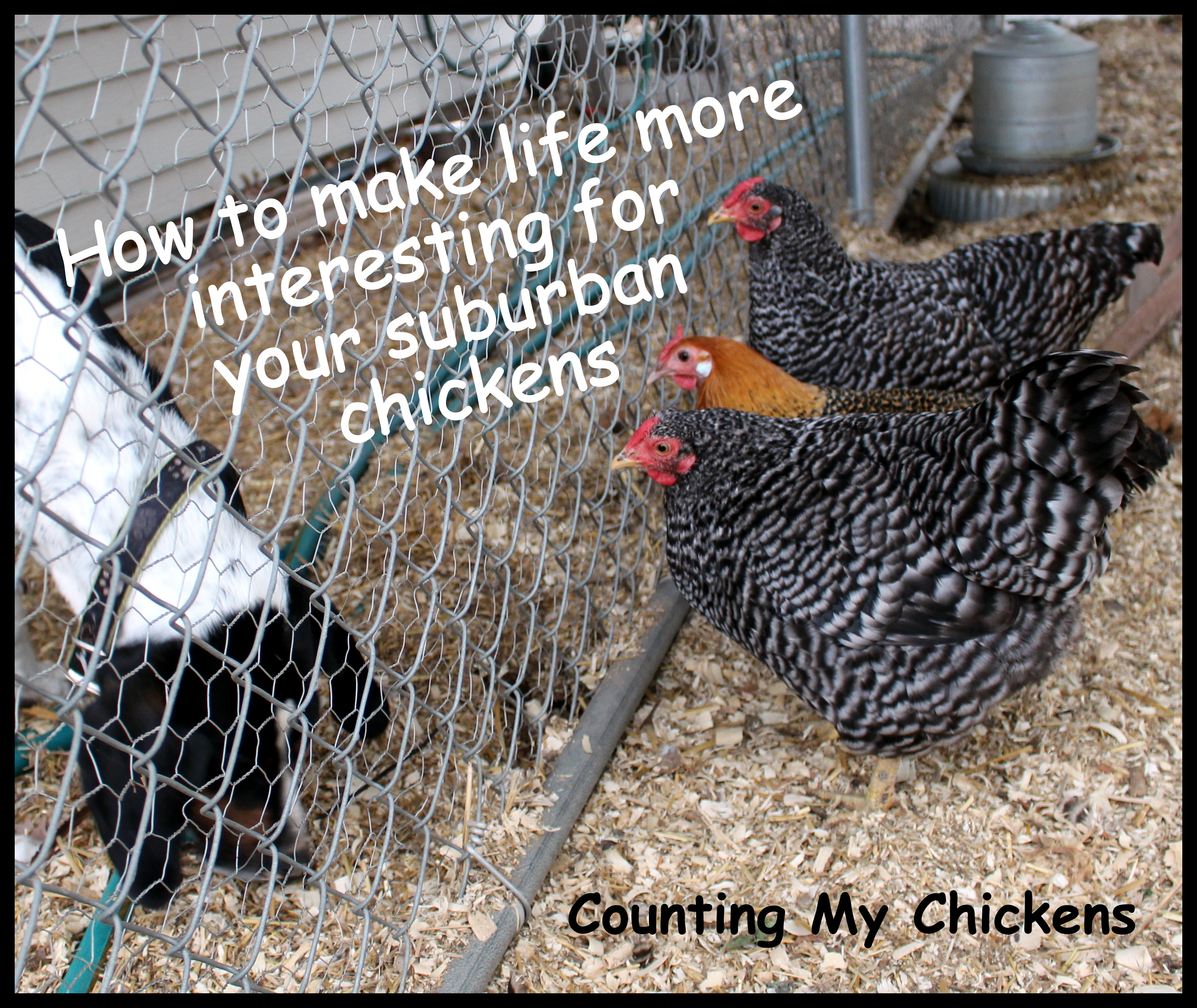 How to Make Life More Interesting for Your Suburban Chickens ...