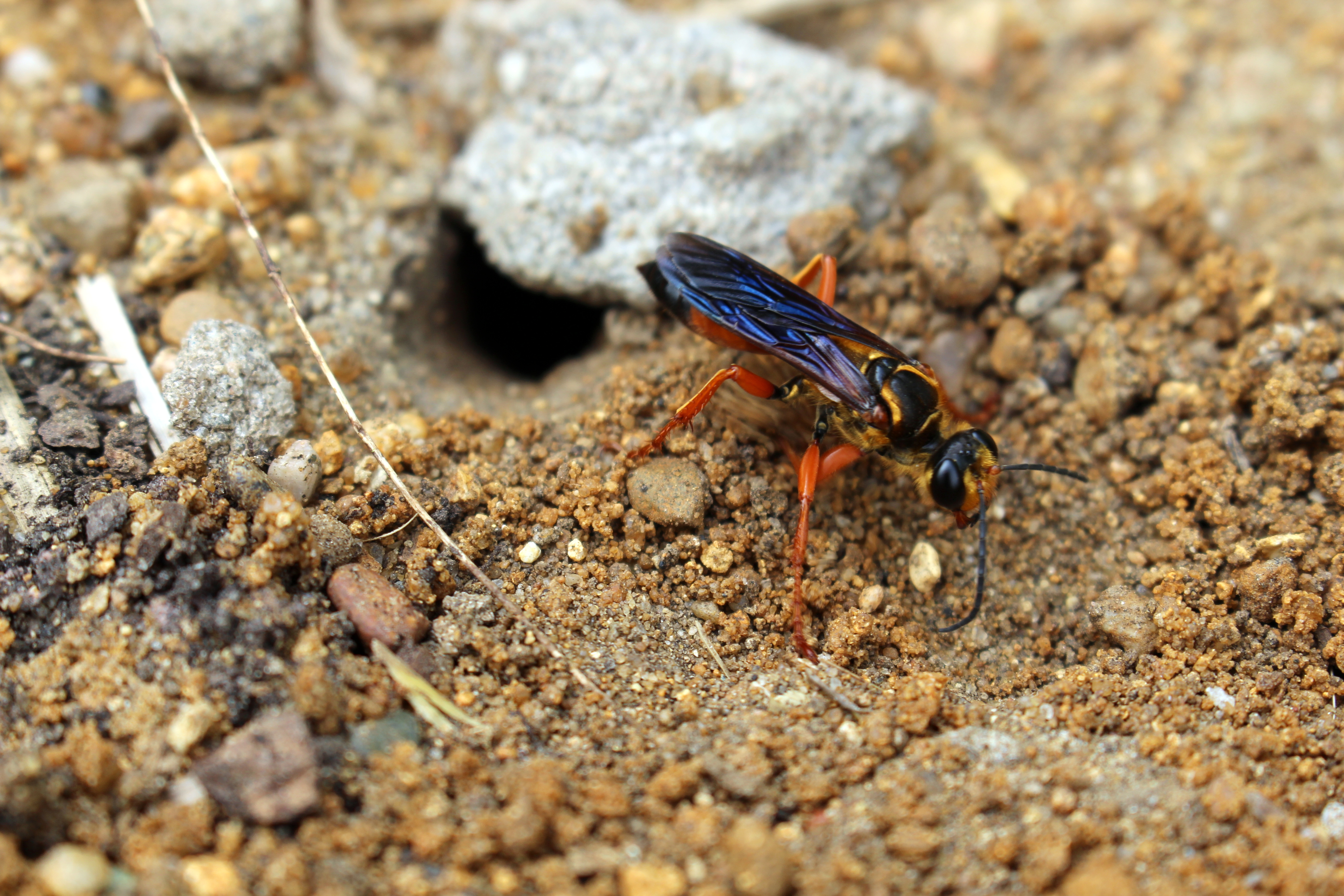 Great Golden Digger Wasp Sting