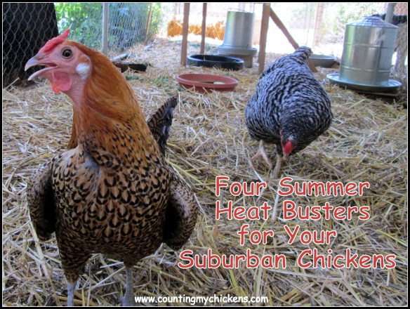 Four summer heat busters for your suburban chickens