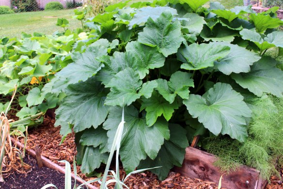 Squash plants