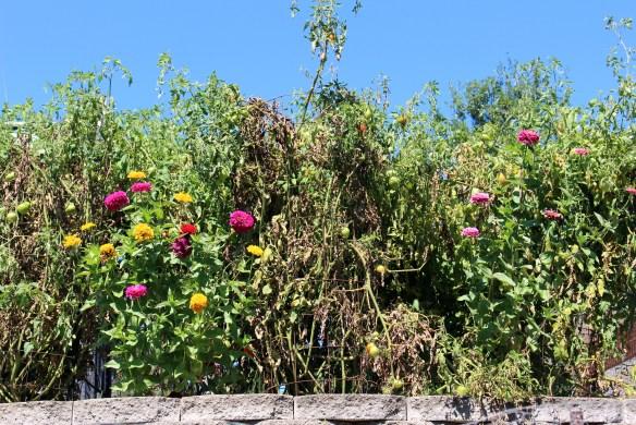 My kitchen garden in August