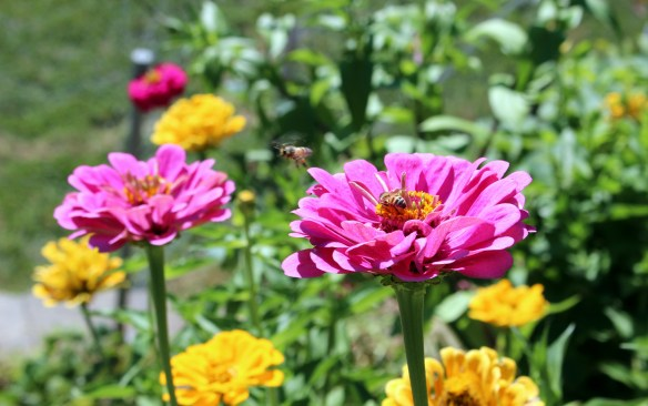 zinnias and bees