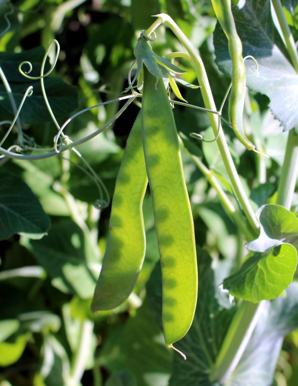 Peas in the June garden