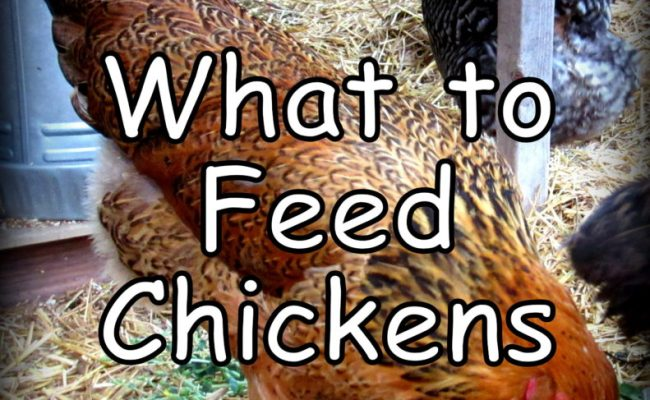 What To Feed Chickens My Tips For Feeding Your