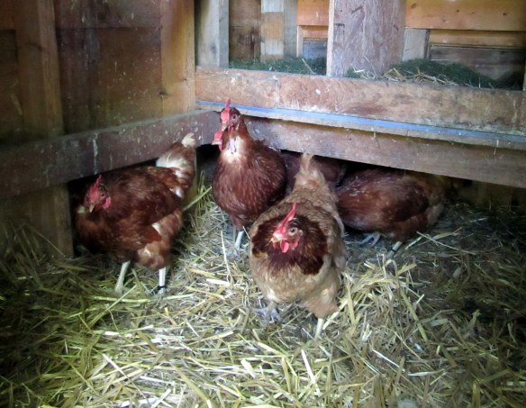 Adopting resuce chickens