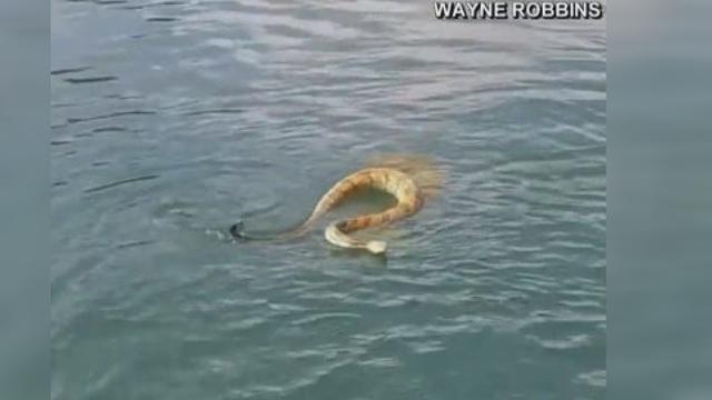rattle snake jumps on boat_1532620574281.jpg_49681189_ver1.0_640_360 (1)_1536937154875.jpg-873702559.jpg