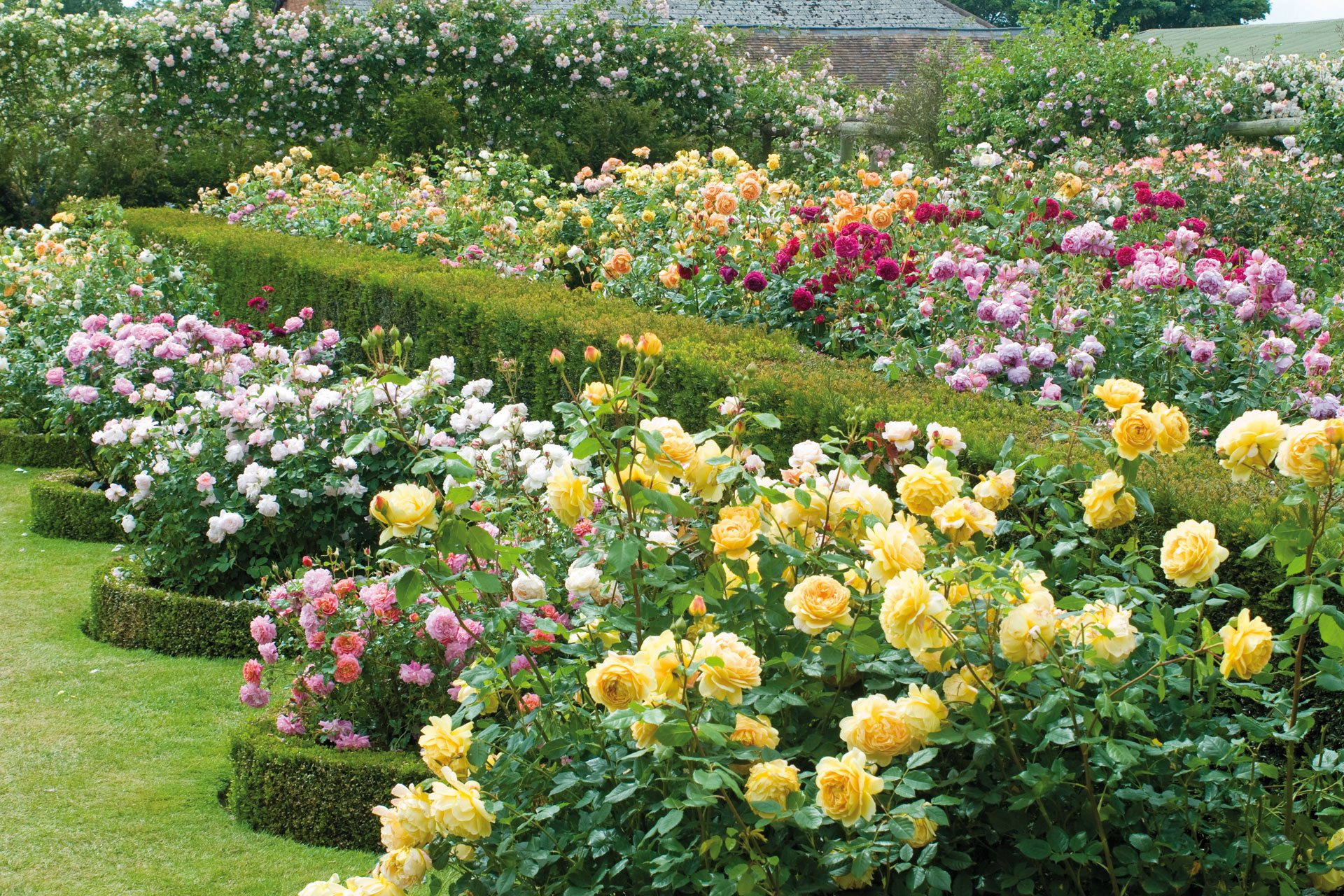 English Roses in the House  Garden  David Austin Roses 2017