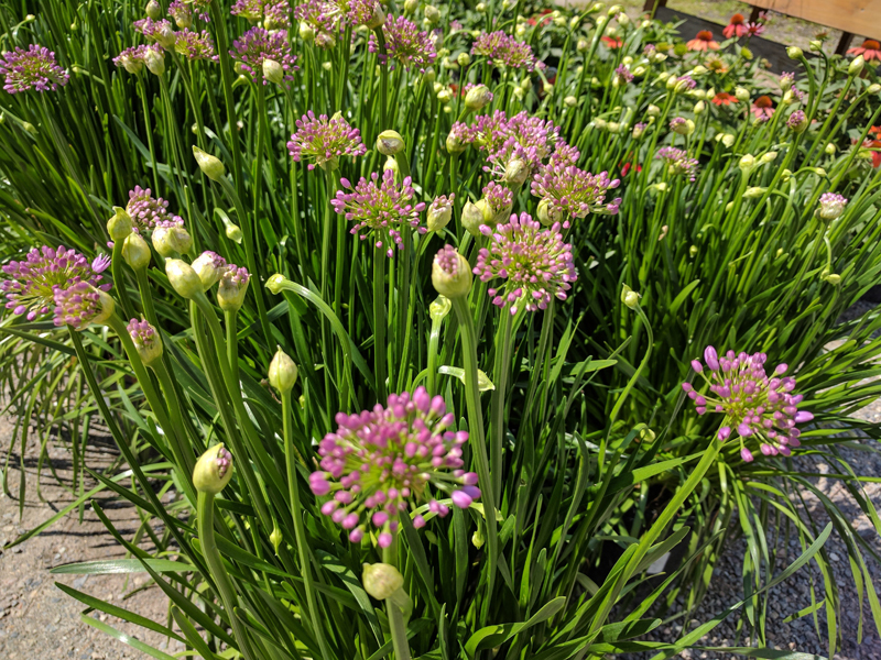 Millenium Allium in flower.