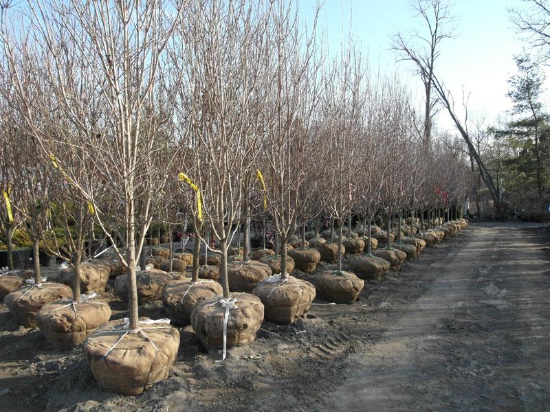 Dogwoods before leaf